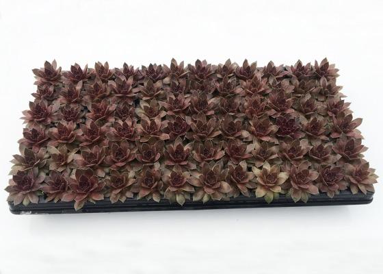 Sempervivum Chick Charms® Chocolate Kiss