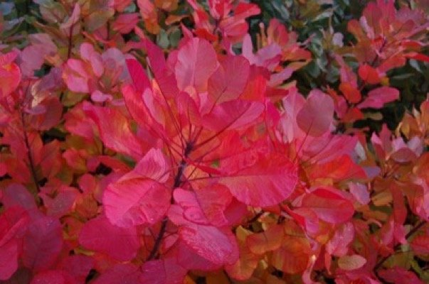 Cotinus Old Fashioned