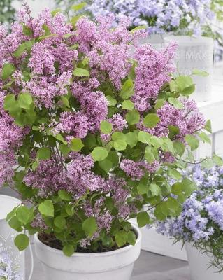 Syringa Flowerfesta® Pink