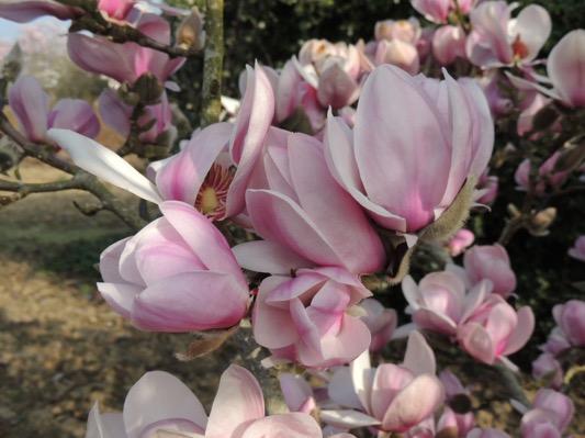 Magnolia Festirose®