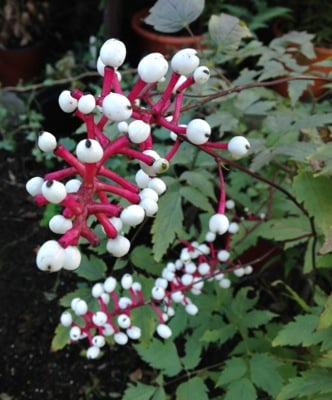 Actaea Misty Blue