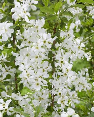 Exochorda Blushing Pearl