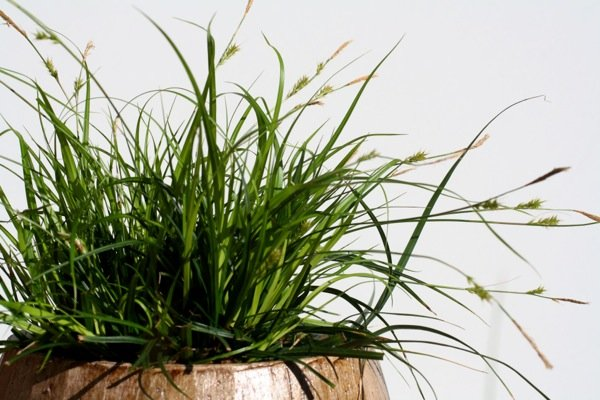 Carex EverColor® 'Everdi'