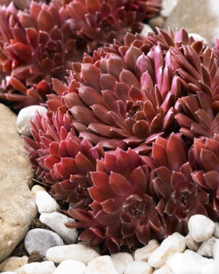 Sempervivum Coral Red