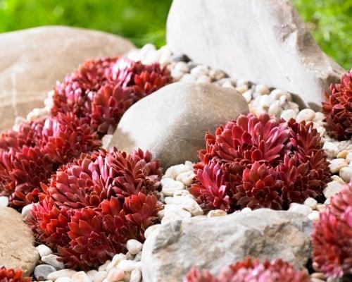 Sempervivum Coral Red