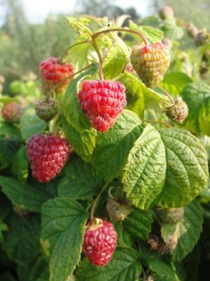 Rubus BonBonBerry® Yummy