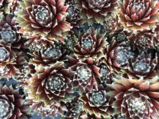 Sempervivum Chick Charms® Cosmic Candy