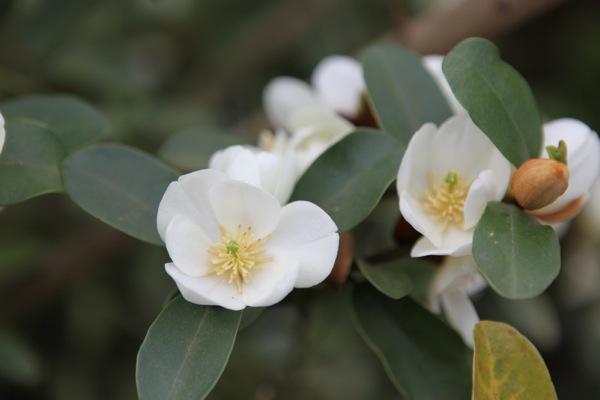 Magnolia Gail's Favourite