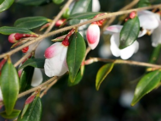 Camellia Cupido®