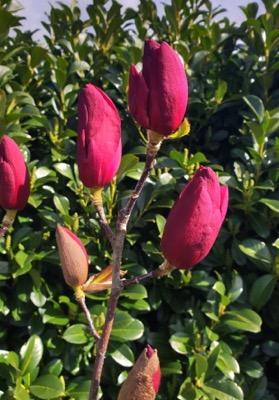 Magnolia Emperor