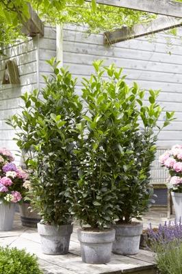 Prunus Obelisk®