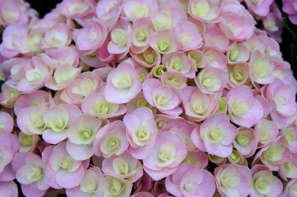 Hydrangea Love
