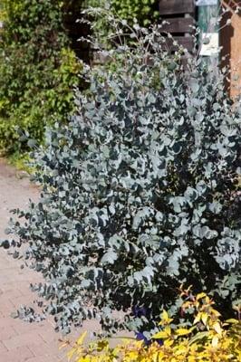 Eucalyptus Azura