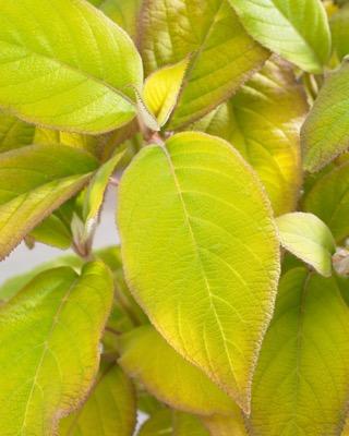 Hydrangea Goldrush