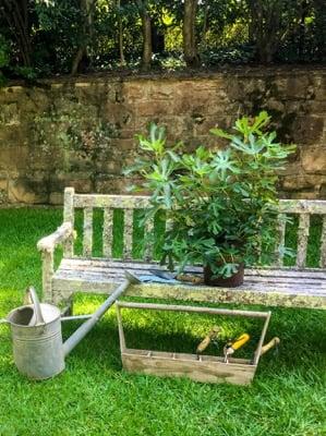 Ficus Little Miss Figgy