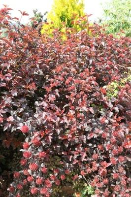Physocarpus Lady in Red