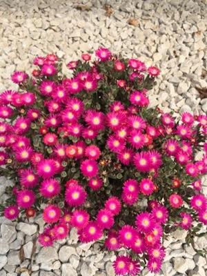 Delosperma Jewel of Desert Amethyst