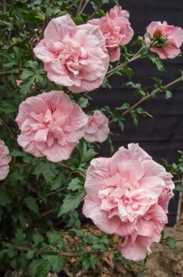 Hibiscus Pink Chiffon
