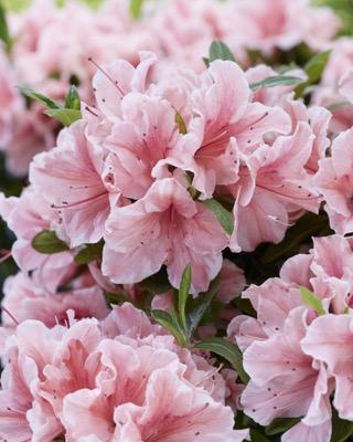 Rhododendron Encore® Sunburst