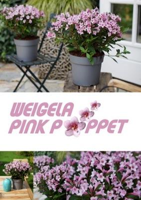 Weigela Pink Poppet