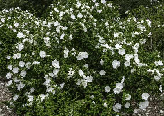 Hibiscus White Chiffon