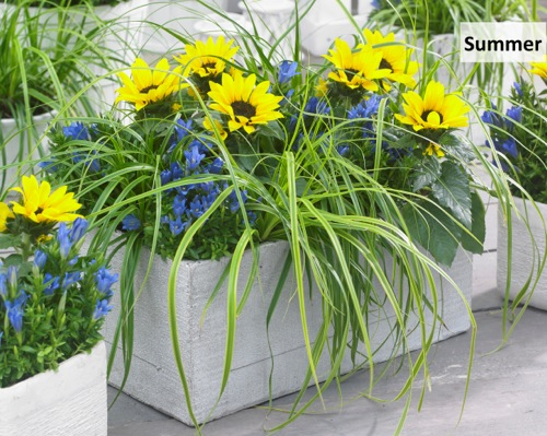 Carex EverColor® 'Everlime'PBR