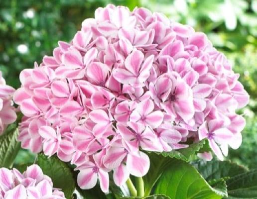 Hydrangea Peppermint