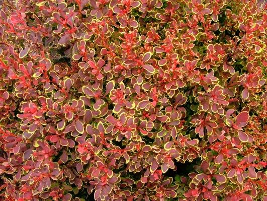 Berberis Golden Ruby