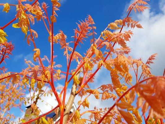 Koelreuteria Coral Sun