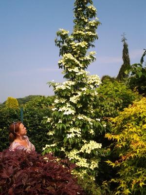 Cornus Flower Tower