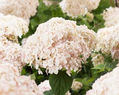 Hydrangea Candybelle® Marshmallow