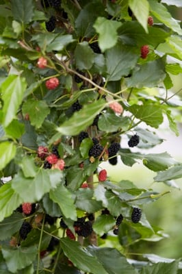 Morus BonBonBerry® Mojo Berry