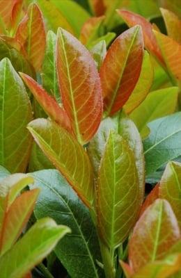 Prunus Titan