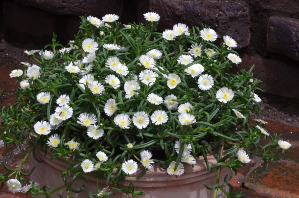 Delosperma Wheels of Wonder® White