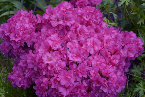 Rhododenron FLASH DANCE™ Pink