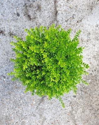 Lonicera Garden Clouds® Green Breeze