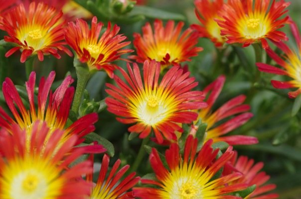 Delosperma Wheels of Wonder® Fire