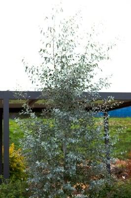 Eucalyptus Silverana
