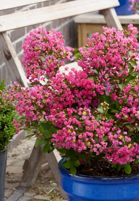 Lagerstroemia With Love Kiss