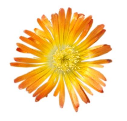Delosperma Wheels of Wonder® Orange