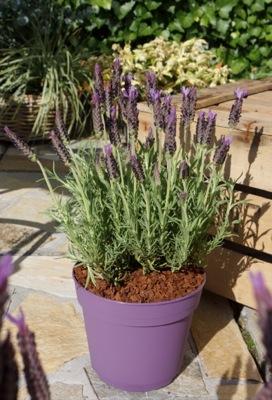 Lavandula Lusi Purple