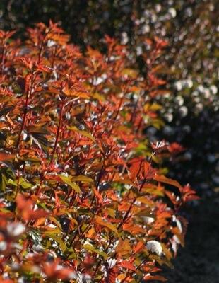Physocarpus Diable d'Or®