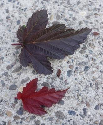 Physocarpus Little Angel