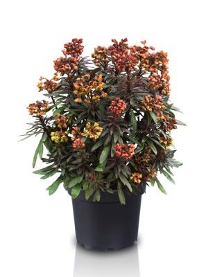 Euphorbia Blackbird