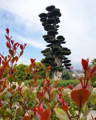 Syzygium Etna Fire®