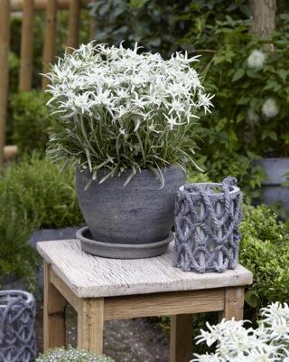 Leontopodium Blossom of Snow