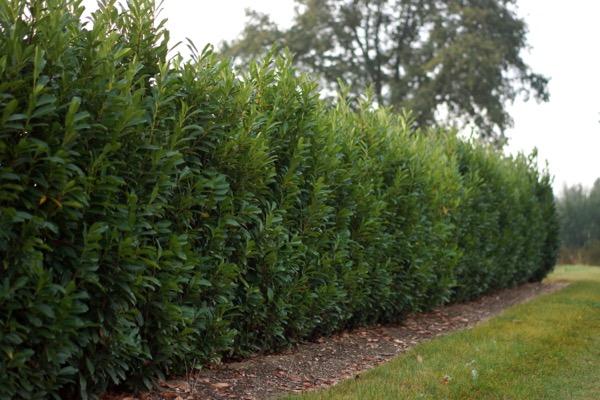 Prunus Elly®
