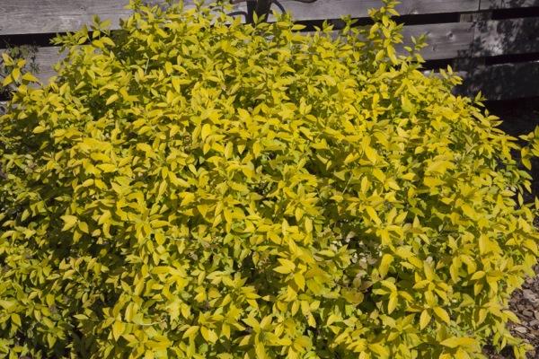 Spiraea White Gold