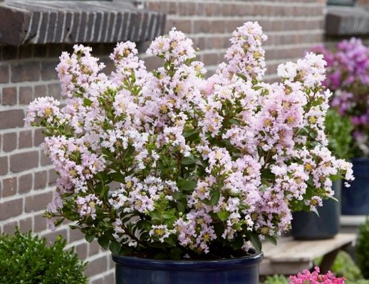 Lagerstroemia With Love Babe