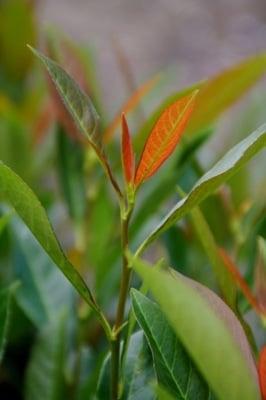 Prunus Hibani